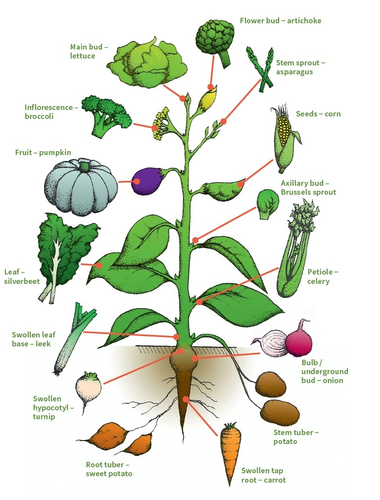 Structure And Composition Vegetable Physiology Postharvest